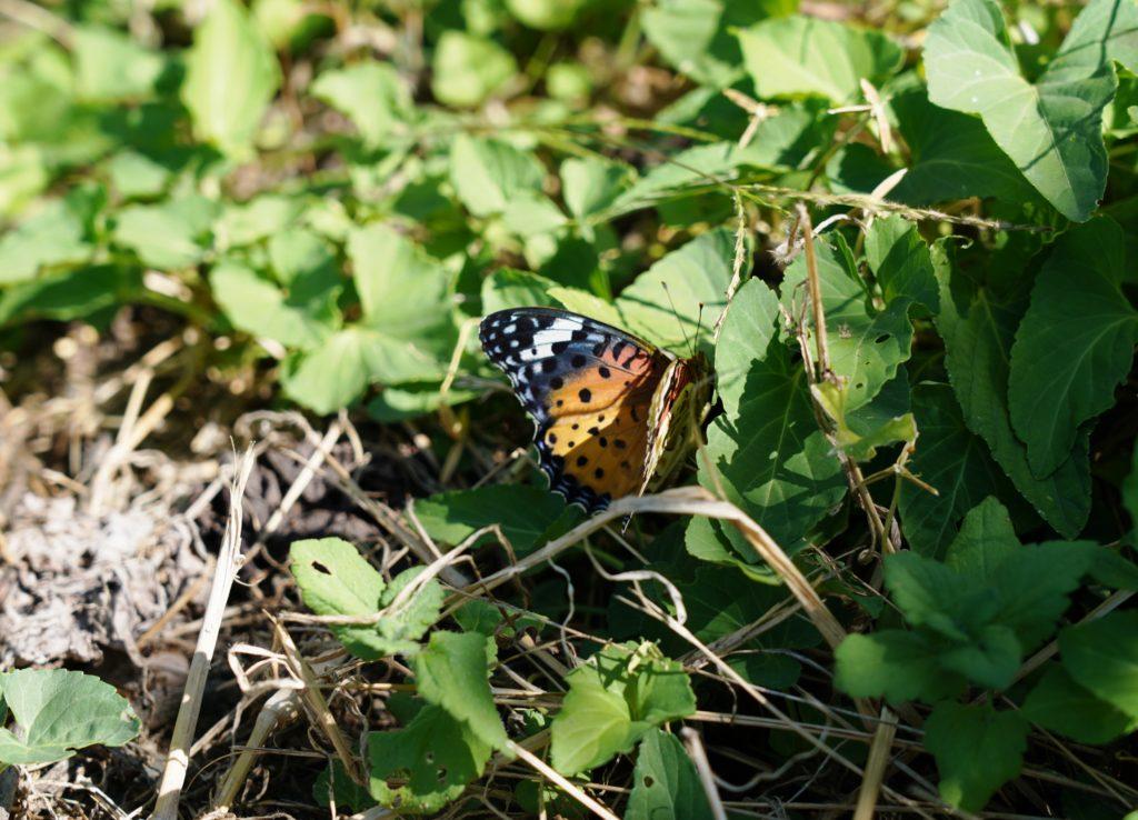 ヴィンヤードでは数種のチョウをはじめ、さまざまな昆虫を見ることができた。