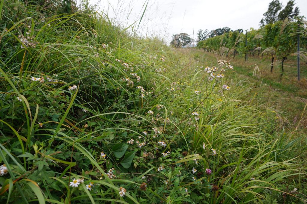 2019年秋には、良質な草原を代表する種であるノコンギクが植生再生活動で定着し、再生場所がお花畑のように変わりつつある。