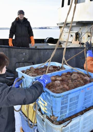 北方四島のウニ、高値で「輸入」 味は好評、背景に国産低迷 画像1