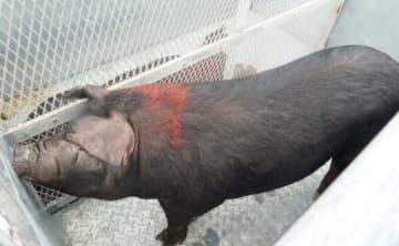 沖縄の「アグー」を離島へ隔離 固有種、豚熱感染防ぐ 画像1