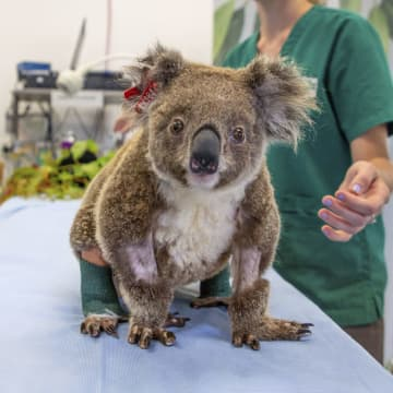 豪の動物病院、治療費の寄付募る 森林火災でコアラなど被害 画像1