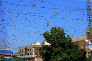 バッタの大量繁殖で食糧危機も 感染広がるパキスタン 画像1