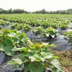 霧島酒造と契約する農家のサツマイモ畑=28日、宮崎県内