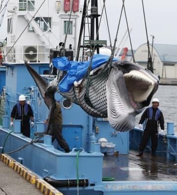 国内の「鯨食文化」復活遠く 捕獲枠拡大視野もコロナ逆風 画像1