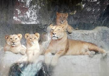 子ライオン2頭熊本から引っ越し 両親の故郷大分へ 画像1
