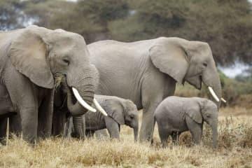 「日本は象牙の取引やめて」 生息国、環境団体が都知事に書簡 画像1