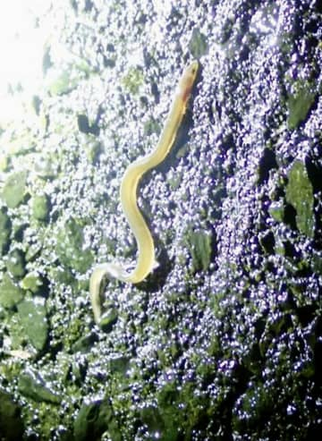 ウナギが46mの滝をよじ登る? 九州大、資源保護に活用も 画像1