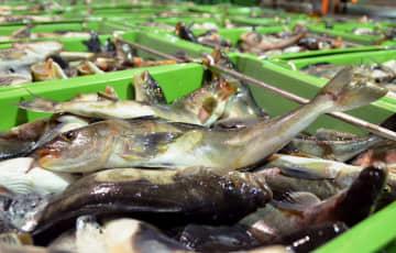 漁獲規制、15種を候補に検討 水産庁、ブリやマダイなど 画像1
