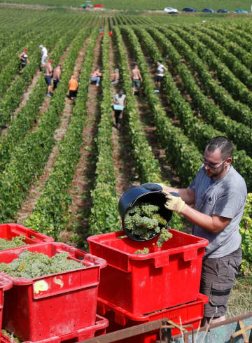原料のブドウ、異例の早期収穫 仏シャンパン、温暖化影響 画像1