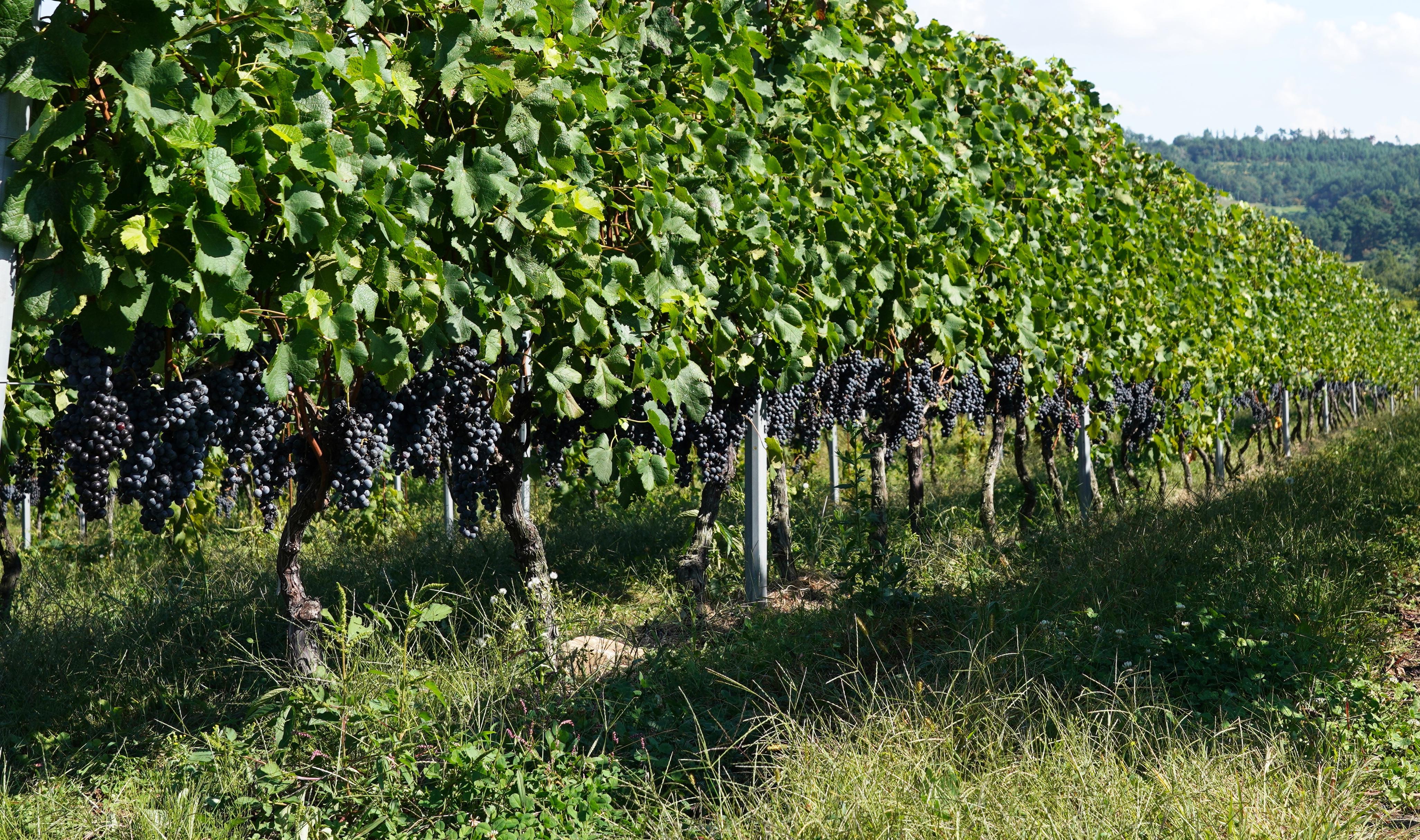 垣根式のブドウ畑は、適度に下草を生やすことで、貴重な草原環境になっている