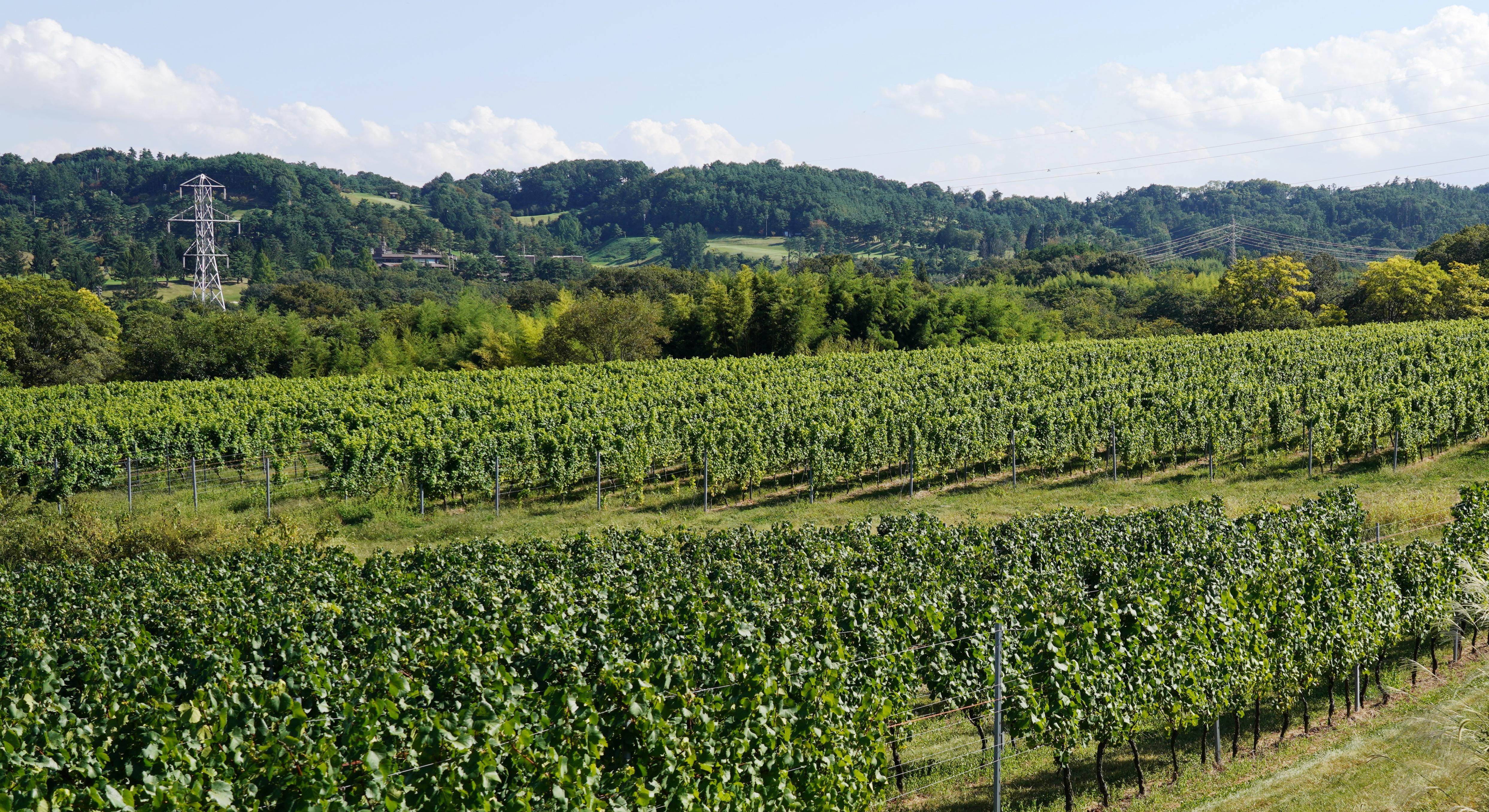 椀子ヴィンヤードでは、シャルドネ、メルローを主体とした8種類のブドウ品種を栽培。約29ヘクタールの広大なブドウ畑は今後も拡大される予定
