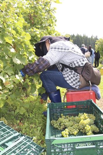 """青森、リンゴとブドウ""""二刀流"""" 農家のリスク分散、生産拡大へ 画像1"""