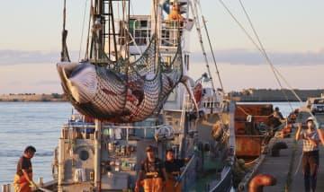 日本沿岸のクジラ生息調査を拡大 冬から春、捕獲枠増期待も 画像1