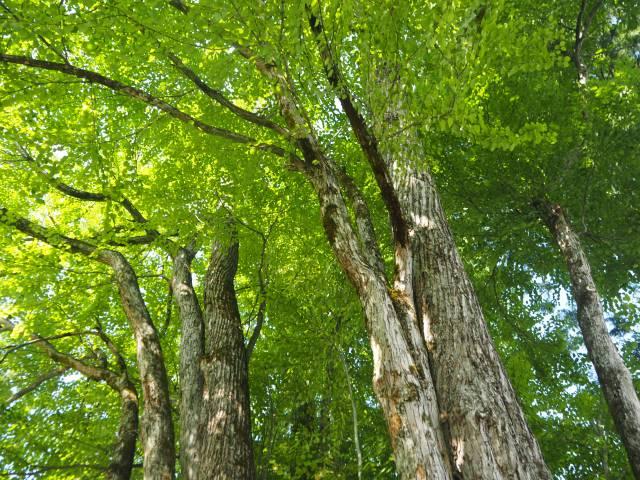 1本の木に会いに行く(29)薬照寺の大カツラ そして日本とミャンマー<新潟県> 画像1