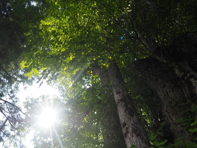1本の木に会いに行く(29)薬照寺の大カツラ そして日本とミャンマー<新潟県> 画像11