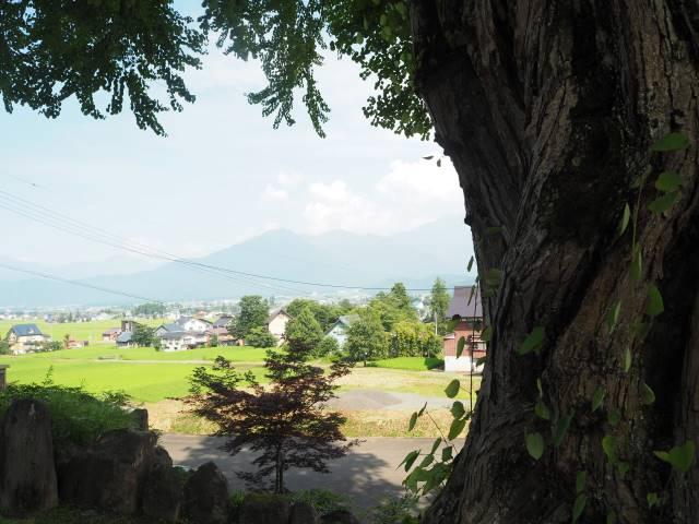 1本の木に会いに行く(29)薬照寺の大カツラ そして日本とミャンマー<新潟県> 画像12