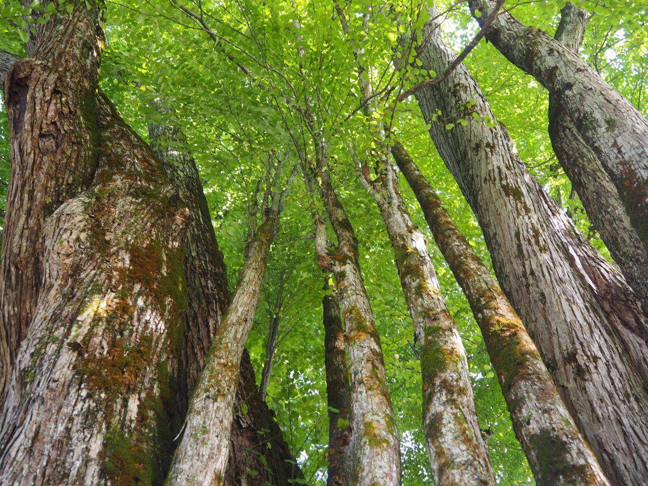 1本の木に会いに行く(29)薬照寺の大カツラ そして日本とミャンマー<新潟県> 画像13