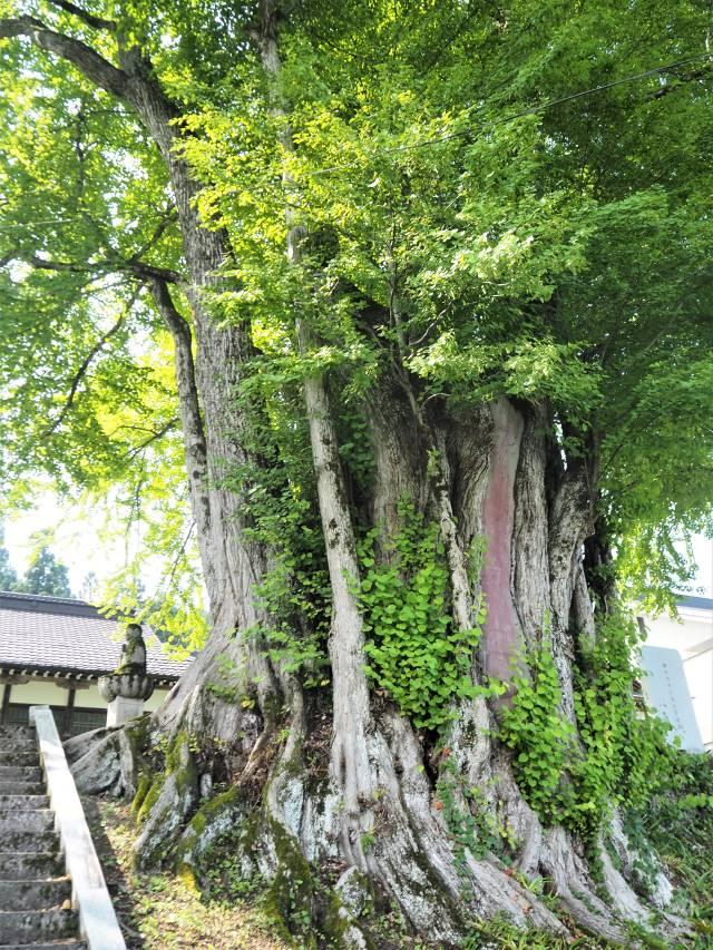 1本の木に会いに行く(29)薬照寺の大カツラ そして日本とミャンマー<新潟県> 画像3