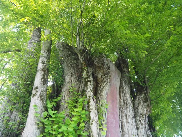 1本の木に会いに行く(29)薬照寺の大カツラ そして日本とミャンマー<新潟県> 画像4
