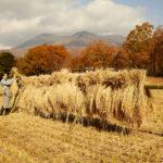 「稲刈り」と「はぜかけ」の体験