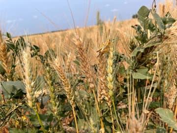 小麦売り渡し価格、19%上昇 過去2番目、パン値上げへ 画像1