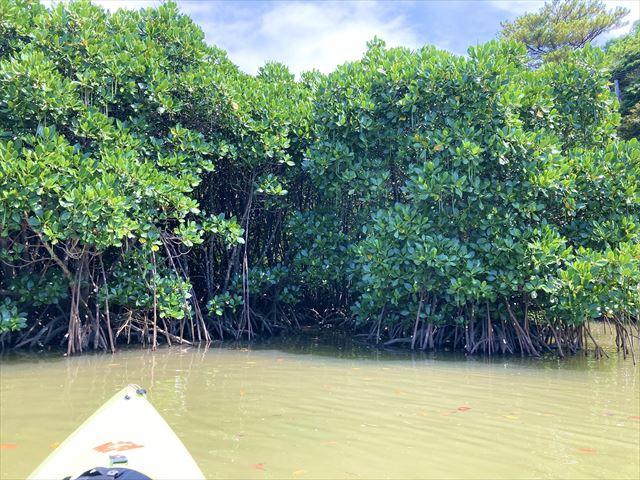世界遺産に登録!沖縄北部・慶佐次湾のヒルギ林でマングローブカヌーを体験してみた 画像7