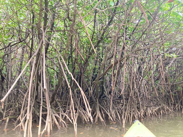 世界遺産に登録!沖縄北部・慶佐次湾のヒルギ林でマングローブカヌーを体験してみた 画像13