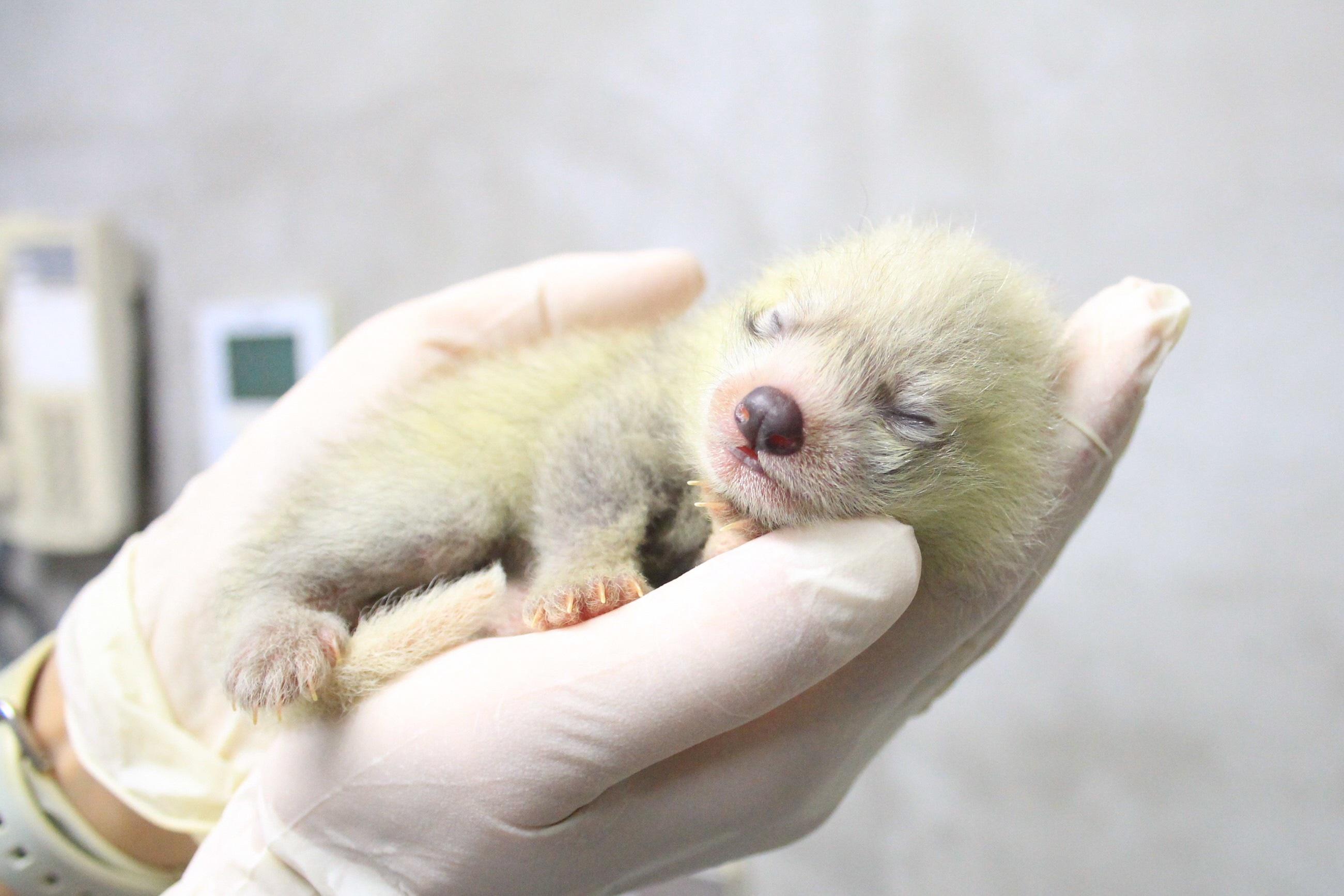 レッサーパンダの赤ちゃん写真公開 日本平動物園ホームページ 画像1